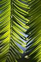 Short shoots with needles of dawn redwood, Metasequoia glyptostroboides - ELF001592