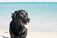 France, Aude, portrait of black Labrador Retriever standing on the beach in front of the sea - GEM000386