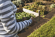 Woman in garden holding crate with beans - UUF005741