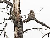 Finland, Kuhmo, hawk owl, Surnia ulula, perching on branch - ZC000331