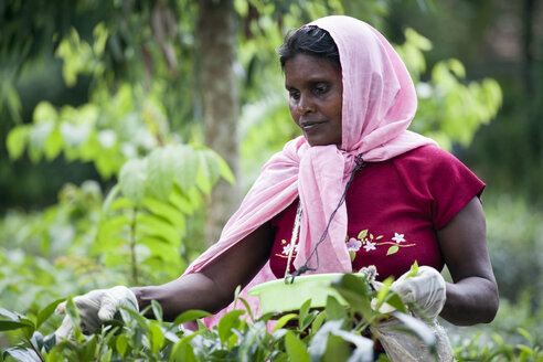 Sri Lanka, woman plucking tea - NN000239