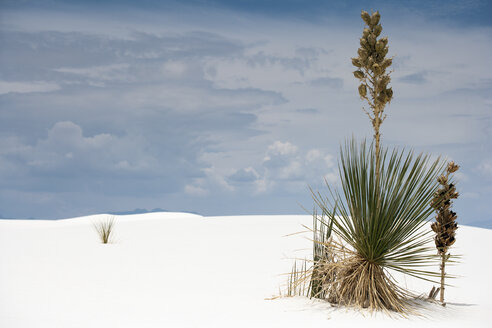 USA, New Mexico, White Sands National Monument, plant growing in sand dune - NNF000245