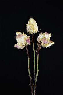 Three withered rose blossoms in front of black background - AX000771
