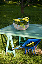 Wickerbasket of chrysanthemum on table and wheelbarrow with pears in a garden - GISF000172