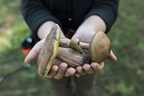 Woman's hands holding birch bolete and king bolete - ASCF000395