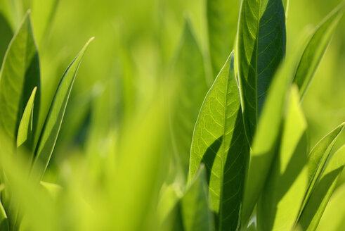 Leaves in sunlight - GUFF000146