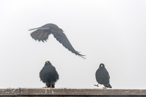 Three Alpine choughs in dense fog - FRF000350
