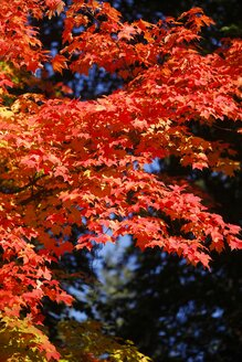Maple, autumn leaves - JTF000705