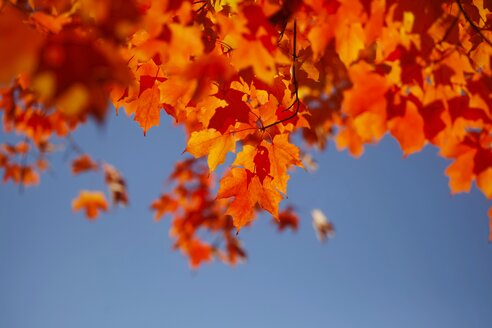 Maple, autumn leaves - JTF000708