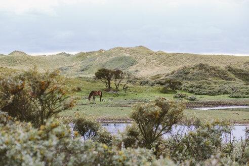 Netherlands, Bergen aan Zee, Horse grazing in dunes - MADF000584