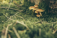 Honey fungi on forest soil - MFF002421