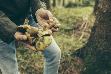 Mature man showing bay bolete mushroom, boletus badius - MFF002424