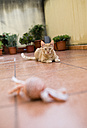 Ginger kitten playing on terrace with toy - RAEF000562