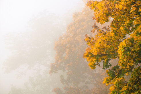 Germany, autumn colours of trees in fog - HAMF000072