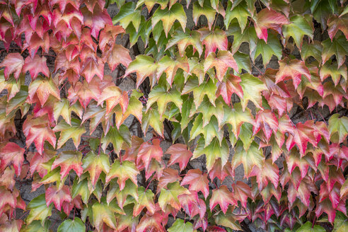 Autumn leaves of Virginia creeper - ASCF000399