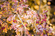 Whitethorn with red berries and autumn leaves - CZF000227