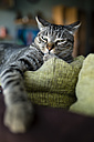 Portrait of tabby cat snoozing on backrest of couch - RAEF000582