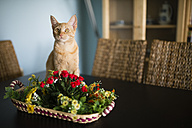 Portrait of tabby cat sitting behind basket with plastic flowers on a table - RAEF000588