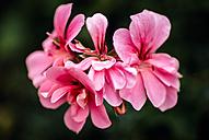 Pink azalea - MGOF000953