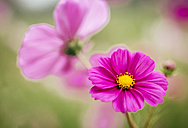 Pink Mexican Aster - MGOF000956