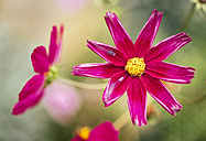 Pink Mexican Aster - MGOF000959