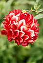 Red-white dahlia - MGOF000962