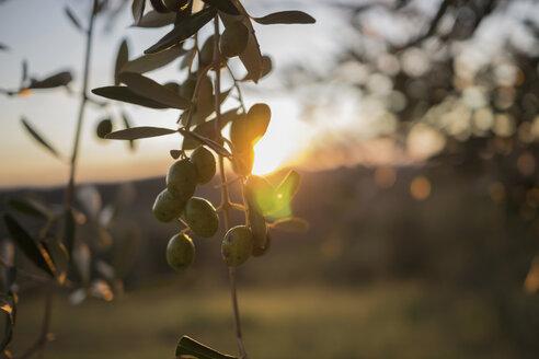 Italy, Tuscany, Maremma, olive tree at sunset - RIBF000322
