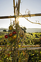 Italy, Tuscany, Maremma, tomatoes in vegetable garden - RIBF000325