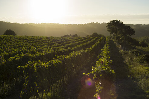 Italy, Tuscany, Maremma, vineyard in morning light - RIBF000337