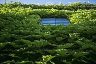 Italy, Tuscany, Maremma, house overgrown with Virginia creeper - RIBF000349
