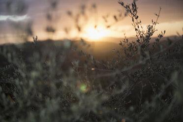 Italy, Tuscany, Maremma, olive trees at sunset - RIBF000364