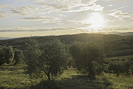 Italy, Tuscany, Maremma, olive trees at sunset - RIBF000379