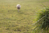 Germany, blured single sheep on a pasture with bundle of grass in the foreground - YFF000474