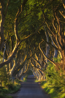 Northern Ireland, near Ballymoney, alley and beeches, known as Dark Hedges - ELF001707