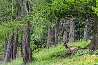 Deer in the forest - LOMF000079