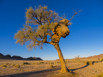 Africa, Namibia, Hardap, camel thorn with large weaver bird nest in Kulala Wilderness Reserve at Namib desert - AMF004401