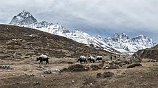 Nepal, Himalaya, Khumbu, pack animals on hiking trail - ALR000135