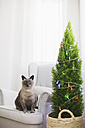 Cat sitting on armchair beside Christmas tree at home - EBSF001028