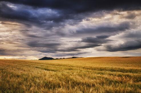Scotland, East Lothian, Field of barley at sunset - SMAF000393