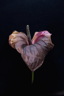 Wilted flamingo flower in front of black background - ASF005737