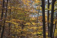 Spain, Catalonia, Forest in autumn, Vallfogona de ripolle - SKCF000026