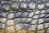 Detail of Nile crocodile skin - ERLF000079