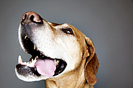 Portrait of a panting mongrel in front of grey background - JATF000768