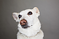 Portrait of a white mongrel in front of grey background - JATF000771
