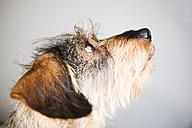 Portrait of wire-haired dachshund - JATF000777