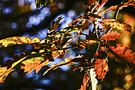 Oak leaves in autumn - HOHF001379