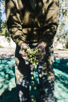 Spain, Tarragona, senior man with handful of harvested olives, close-up - JRFF000226