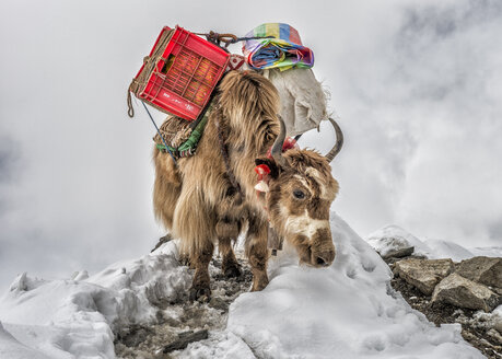 Nepal, Himalayas, Khumbu, Everest Region, Yak carrying supplies - ALRF000202