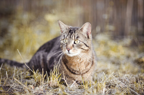 Portrait of tabby cat hunting - CZF000233