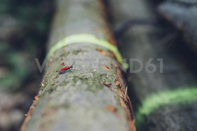 Germany, Saxony, Cardinal beetle Pyrochroa Coccinea on log - MJF001693 - Jana Mänz/Westend61